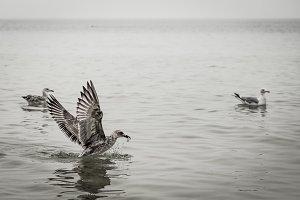 beautiful birds seagulls eat in the sea