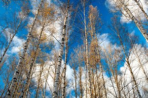 Birch trees against the blue sky.