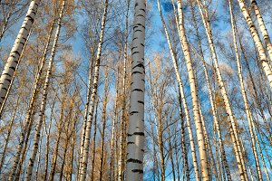 Birch trees background.