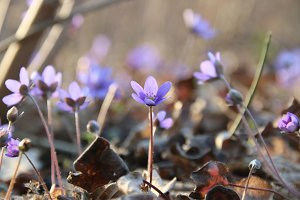 Spring flowers. Anemone hepatica blooming in the forest.