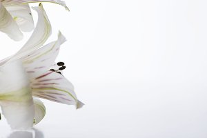 Close-up of lily flower. Isolated.