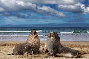 Wild sea lions