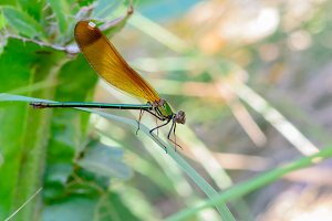 Damselfly of silver wings