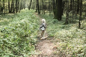 Husky dog walking  in forest, summer