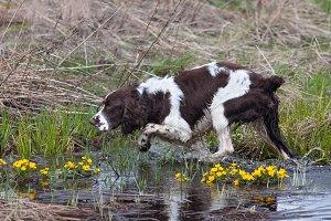 hunting dog on the bird hunt