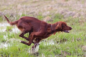 hunting dog running on the meadow