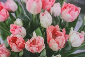 Soft Tulip Background