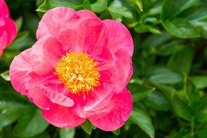 Blooming pink peony flowers