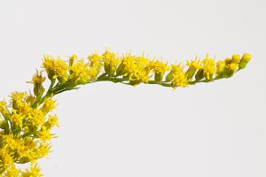 Solidago flowers