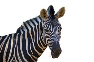 Image of an zebra. wild animals.