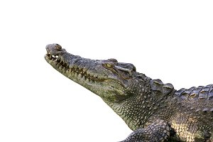 Image of a crocodile.