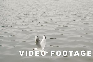 Seagull flying - slowmotion 180 fps