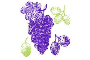 Grape Hand Draw Sketch. Vector