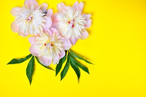 Three pink peony flowers