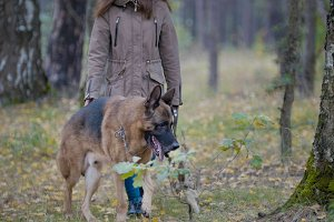 The dog walks with the misters in the woods