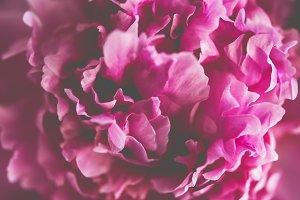 pink peony flower petals macro shot, elegant natural floral wedd