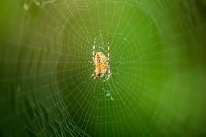 the web is a big beautiful spider on green background