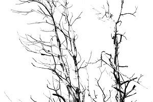Isolated Silhouette Tree Graphic