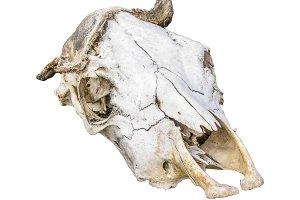 Mammal Head Bones Isolated