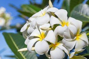 Blossom frangipani plumeria lilawadee flower tree