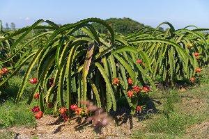 Dragon fruit Pitaya Pitahaya plantation Thailand
