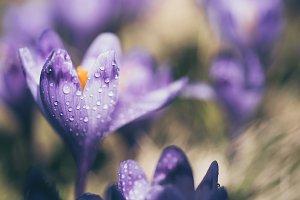Spring crocus flower