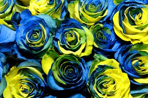 Yellow and blue roses