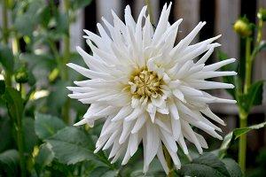 White first dahlia