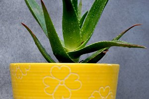 Aloe vera in a yellow pot