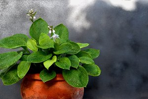 Hostas bloom in a clay pot