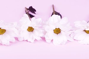 Close-up of daisies on pink background. Flowers isolated. Horizontal shoot.