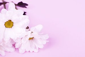 Close-up of daisies on pink background. Flowers isolated. Copy space.