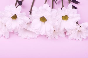 Close-up of daisies on pink background. Flowers isolated.