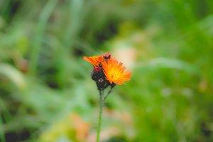 Orange daisy flower selective focus