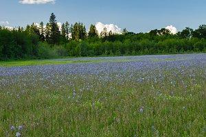 Native wildflower meadow of camas