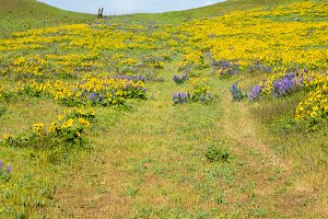 Meadow of lupine and balsamroot