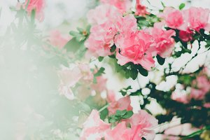 Light & bright pink Azalea flowers