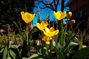 Closeup wide angle photo of yellow tulips at garden, spring