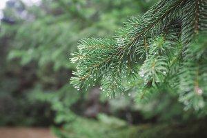 dew on pine tree