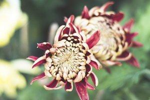 Reddish Twin Flowers