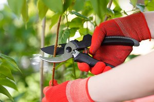 Girl cuts or trims the bush with secateur in the garden.