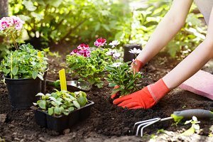 Gardener planting flowers in the garden, close up photo.