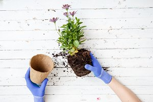 Gardener planting flowers, close up photo