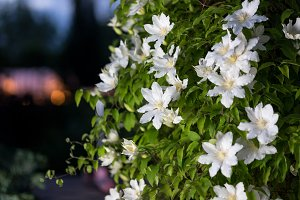 Close up photo of white clematis flowers in a garden.