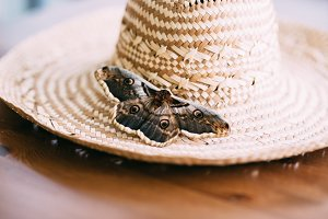 Close up of giant peacock moth Saturnia pyri sitting on straw hat.