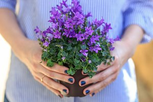 Woman holding blooming campanula flowers close up photo