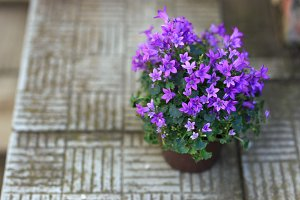 Small purple campanula flowers planted in brown pot on stone stairs