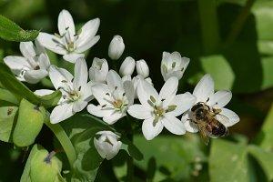 Bee White Flower