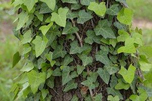 Ivy Plant Tree