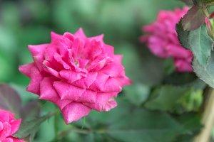 pink rose in the garden vintage